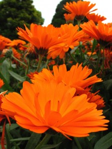 Calendula is antimicrobial and aids in tissue healing.