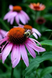 Echinacea is most effective when used at the first sign of a cold.
